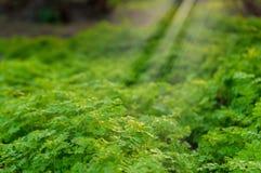 Pietruszka - Petroselinum hortense w lesie Obrazy Royalty Free