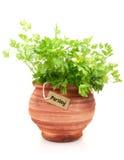 pietruszki świeża roślina zdjęcia royalty free