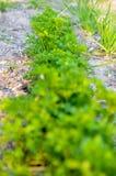 Pietruszki dorośnięcie na łóżku Zdjęcia Stock