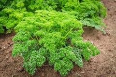 Pietruszki roślina Zdjęcia Stock