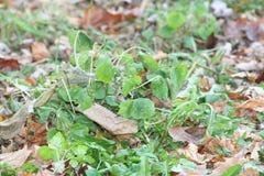 Pietruszki roślina w spadku obrazy stock