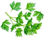 Pietruszki ziele Makro- strzał mała gałąź obraz stock