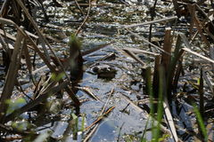Śpiewacka żaba Zdjęcia Royalty Free