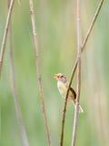 Śpiewacki warbler, prinia Obrazy Royalty Free