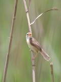 Śpiewacki warbler, prinia Fotografia Stock