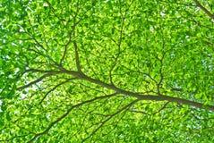 Pieza de la ramificación y de la hoja de árbol Fotografía de archivo