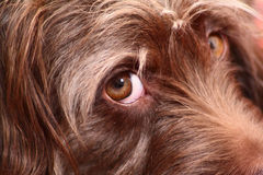 Pieza de un bozal con un ojo de un perrito marrón Foto de archivo libre de regalías