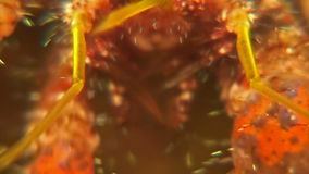 Piezas de boca de un cangrejo de ermitaño almacen de metraje de vídeo