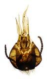 Piezas del moeth de la abeja de la miel bajo el microscopio Fotos de archivo libres de regalías