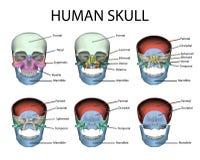 Piezas masculinas humanas del cráneo Foto de archivo libre de regalías