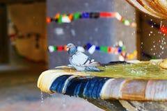 Pifeon купая в фонтане Стоковая Фотография