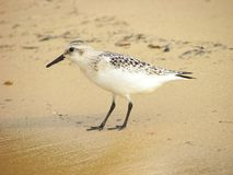 Pifferaio della sabbia Fotografia Stock Libera da Diritti