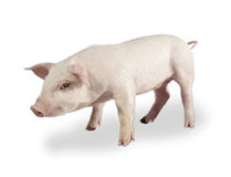 Pig 03. Pig Royalty Free Stock Images