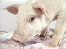 Pig 1. Pig royalty free stock photography