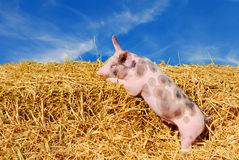 Pig. Cute young spotted pig in straw paddock with blue sky background stock images