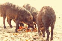 pig royaltyfri bild