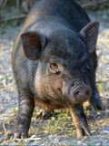 Pig. A nice black pig in the farm Royalty Free Stock Photography
