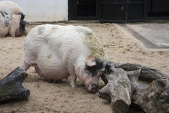 Pig. A fat and big pig Royalty Free Stock Image