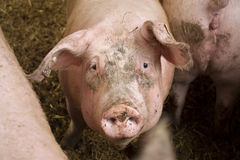 Pig. Stood in muddy pen on a farm Royalty Free Stock Photo