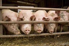 Pig Stock Photo