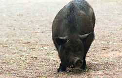 Pig. A large black pig parade in the paddock Stock Photography