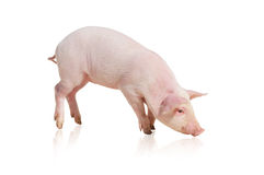 Pig Stock Image
