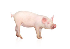 Pig Stock Images