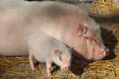 Pig. (Kingdom Animalia, Phylum Chordata, Class Mammalia Theria Eutheria, Order Artiodactyla, Family Suidae Suinae royalty free stock photos