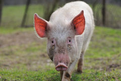 Pig. Running on the camera stock images