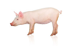 Pig Stock Photos