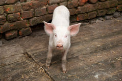 Pig. Little pig on a farm Stock Photography