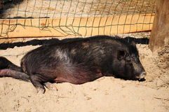 Pig. Fat and lazy black pig Royalty Free Stock Images