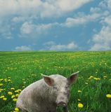 Pig. On the green grasslang Royalty Free Stock Photo
