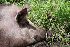 Pig. Head of very big pig in the green grass Stock Photo