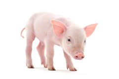 Pig Royalty Free Stock Image