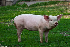 Pig. Little pig on green grass Royalty Free Stock Image