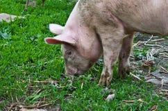 Pig. Little pig on green grass Stock Photo