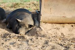 The pig Stock Photos