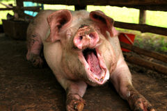 Pig. A big pig is feeling sleepy in cool and wet stable royalty free stock photography