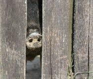 Pig. Nose of an ugly pig Stock Photos