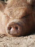 Pig. Lazy hairy pig lying down in dirt Royalty Free Stock Photos