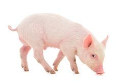 Pig. Who is represented on a white background Stock Photography