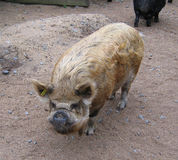 Pig. Full body of a domestic pig staring Stock Image