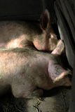 Pig. Two pigs fed a crawl saying do not know what messages Stock Image
