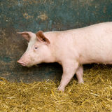 Pig. Picture of a pig in a shed Royalty Free Stock Photo
