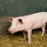 Pig. Picture of a pig in a shed Stock Photos