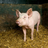 Pig. Picture of a pig in a shed Royalty Free Stock Image