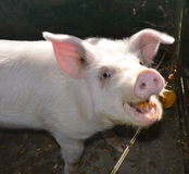 Pig. A happy pig eating some pumpkin Stock Photos