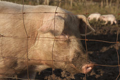 Pig in a muddy field. Portrait of a pig stood behind a fence in a muddy field with piglets in the background stock photography