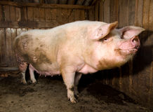 Pig. Huge dirty pig inside a barn Royalty Free Stock Photo
